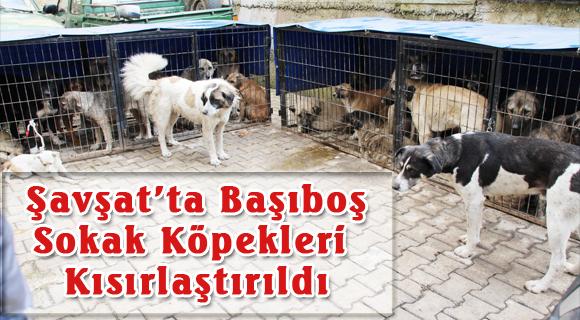 Şavşat'ta Başıboş Sokak Köpekleri Kısırlaştırıldı